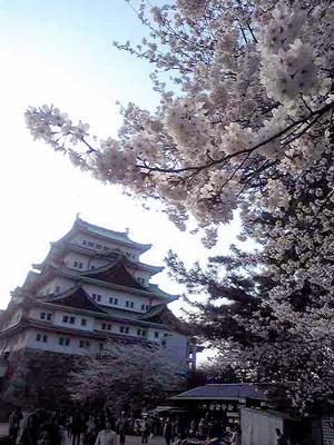 08sakura1