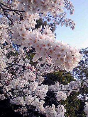 08sakura2_2