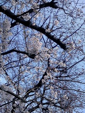 Sakura091